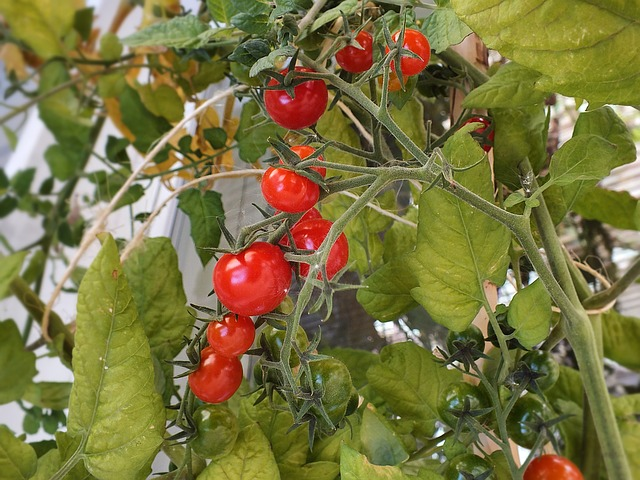 mini rajčata